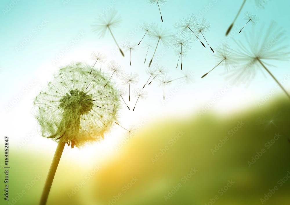 Fototapeta Dandelion seeds blowing in the wind across a summer field background, conceptual image meaning change, growth, movement and direction.
