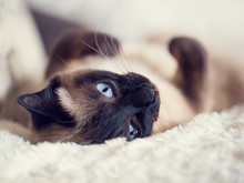 Close Up Of A Cute Blue-eyed Siamese Cat Lying On A Fluffy Plaid. Selective Focus