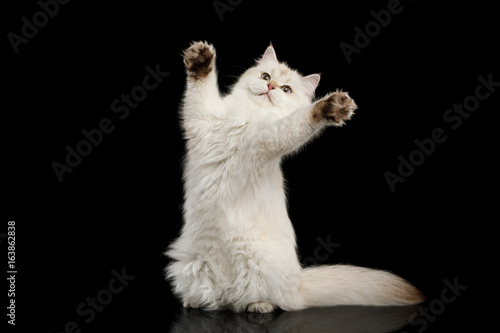 Fotografia, Obraz  Funny British Cat White color-point Play on Isolated Black Background, front vie