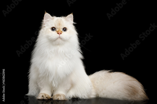 British breed Cat White color-point with magic Blue eyes and Furry tail Sits on Fototapete