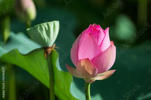 Papiers peints Azalea Lotus flower and Lotus flower plants