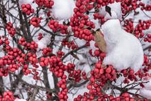 Winterberry Bush Berries Under...