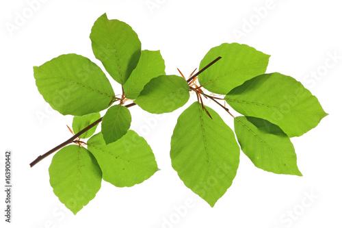 Rotbuche (Fagus sylvatica) Zweig mit Blättern vor weißem Hintergrund