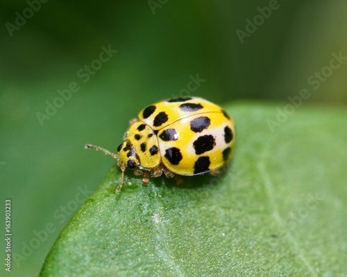 Yellow Coccinellidae from Mauritius resting on green leaf