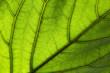 Blattstruktur, leaf structure