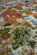 Tundra Boden im Herbst, Dovrefjell, Norwegen