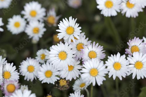In de dag Madeliefjes Blühende Gänseblümchen (Bellis perennis)