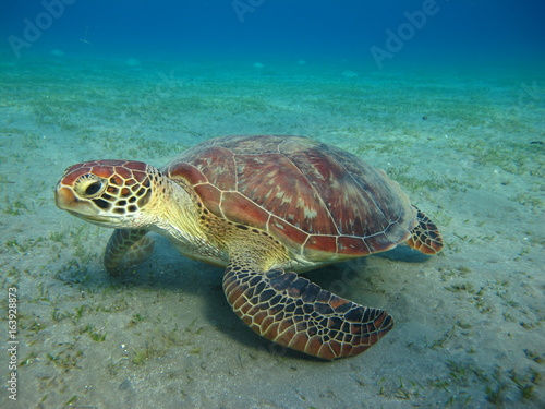 Staande foto Schildpad tortue marine sea turtle marsa alam