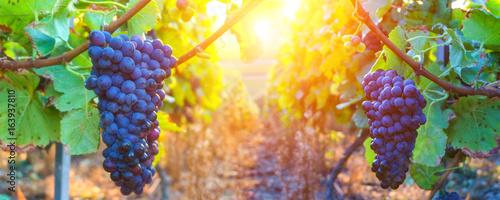 Vine grapes in champagne region at montagne de reims, France