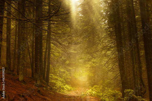Pine dark autumn forest in fog