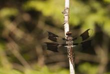 Common Whitetail Skimmer Drago...