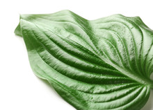 Beautiful Green Hosta Leaf, Is...