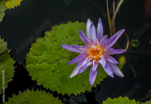 Foto  This beautiful waterlily or lotus flower is complimented by the rich colors of the deep blue water surface
