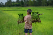 Transplant Rice Seedlings In Rice Field, Asian Farmer Is Withdrawn Seedling And Kick Soil Flick Of Before The Grown In Paddy Field,Thailand, Farmer Planting Rice In The Rainy Season. Children Farmer