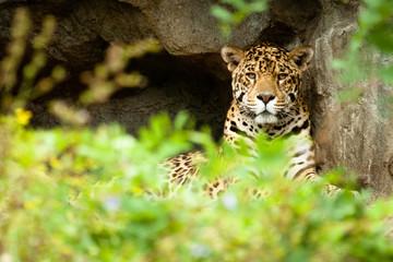 Fototapeta na wymiar leopard