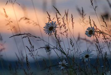 Field daisies on background of sunset sky