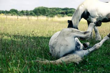 Welsch Mountain Pony