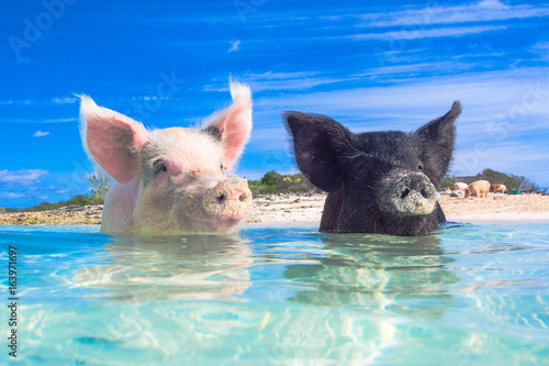 Photo  Swimming Pigs