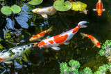 Colorful decorative fish float in an artificial pond, view from above