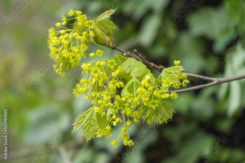 Blüte des Spitzahorn