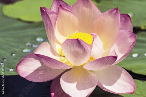 Staande foto Lotusbloem Pink lotus blossoms or water lily flowers blooming on pond.