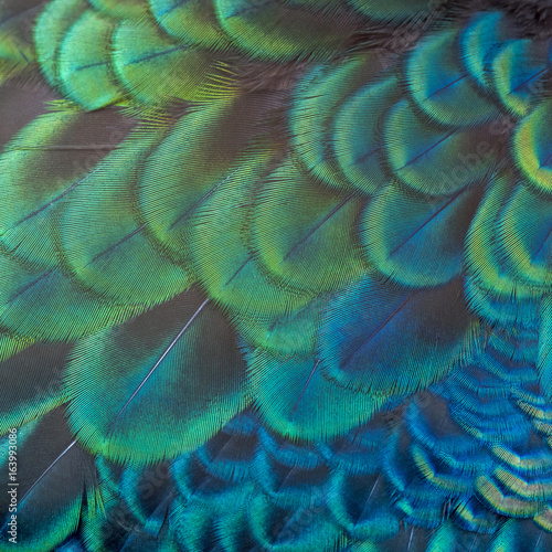 Foto op Aluminium Onder water Beautiful peacock fetcher for background (Green Peafowl)