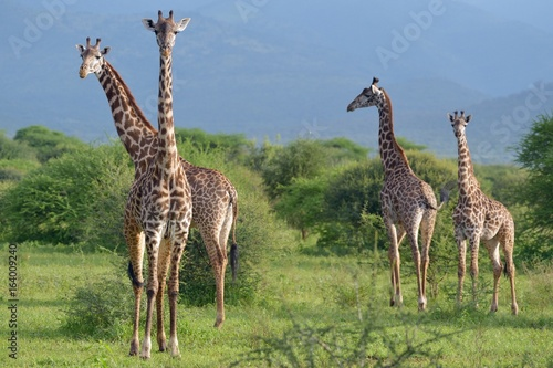 Giraffes in Savana Canvas Print