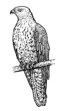 European Honey Buzzard Illustration, Drawing, Engraving, Ink, Line Art, Vector