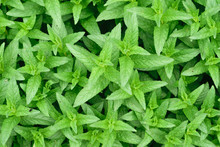 Fresh Green Peppermint (Mentha Piperita Or Mentha Balsamea Willd) Leaves Background
