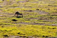 Australian Wallaby Feeding In ...
