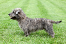 Irish Glen Of Imaal Terrier On...