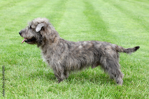 Irish Glen of Imaal Terrier on the green grass Canvas Print