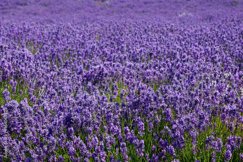 Photo  The lavender farm in the summertime.