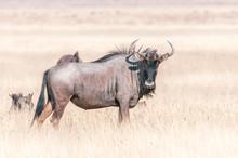 Blue Wildebeest Looking Toward...