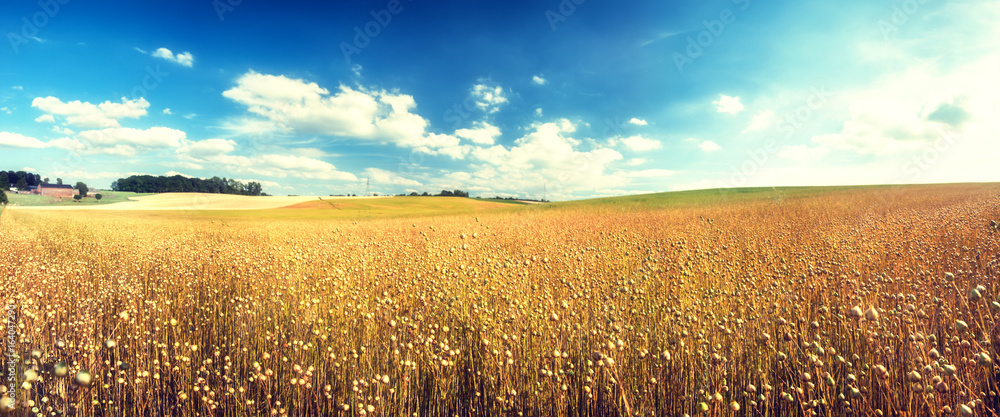Fototapety, obrazy: Agricultural landscape with flax seed field. Nature background