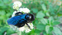 The Violet Carpenter Bee (Xylo...