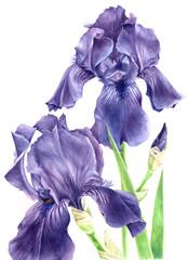 Hand drawn watercolor iris flowers