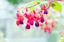 Red Fuchsia Flower Decorative ...