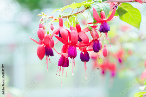 Fotografia, Obraz Red fuchsia flower decorative in a garden