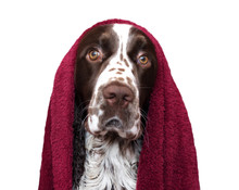 Funny Dog After Bathing Isolated On White. Spaniel In Towel
