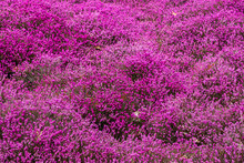 Blühende Heidelandschaft