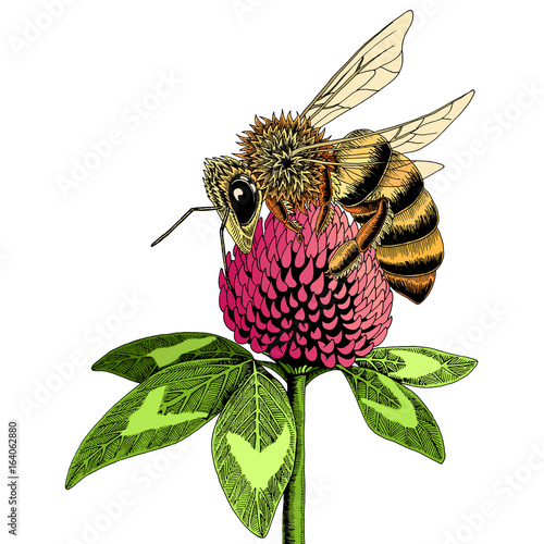 Bee On Clover Flower Sketch. Colored Hand Drawn Vector