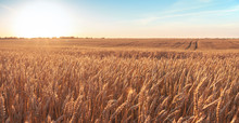Wheat Field And Blue Sky With Picturesque Clouds At Sunset.