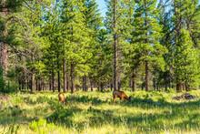 Deer Grazing In Bryce Canyon N...
