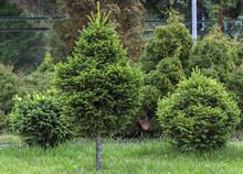 Decorative Dwarf Spruce Picea Glauca