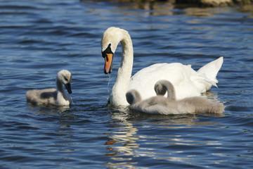 schwan mit drei jungen