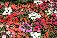 Various Types Of Impatiens