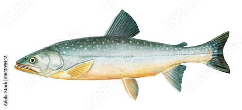 Valokuva  Freshwater fish of the Far East -  Malma, char, Isolated on a white background,