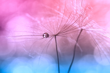 Obraz na SzkleWater drops or dew on a dandelion ,pink background blue color. Artistic image of a dandelion. macro of a dandelion.