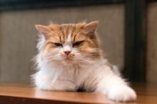 Fluffy Ragdoll Cat Looking Ang...
